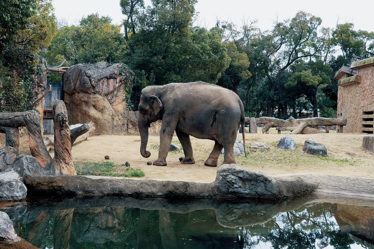 天王寺動物園のゾウ